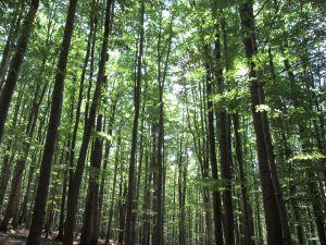 Las Bukowy k LZ